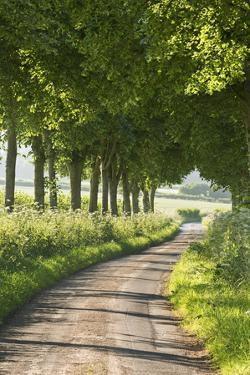 Tree Lined Country Lane, Dorset, England. Summer (July) by Adam Burton