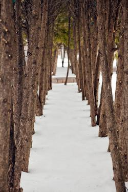 A Row of Trees outside in the Snow during Winter. by Adam Hester