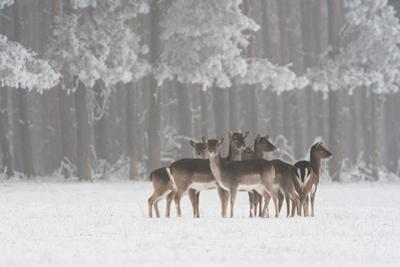 Deer in snow in Hungary by Adam Horvath