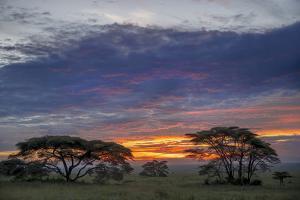 Acacia trees silhouetted at sunset, Serengeti National Park, Tanzania, Africa by Adam Jones