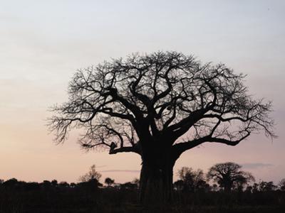 African Baobab Tree (Adansonia Digitata), Tarangire National Park, Tanzania, Africa by Adam Jones