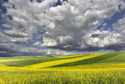 Alternating patterns of yellow canola and green wheat, Palouse region of Eastern Washington State. by Adam Jones