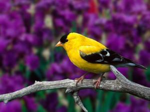 American Goldfinch in Summer Plumage by Adam Jones