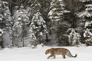 Amur Leopard in winter. by Adam Jones