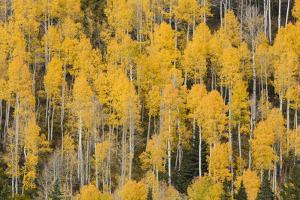 Autumn gold aspen tree pattern on mountain slope, San Juan Mountains, Colorado by Adam Jones