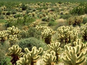 Backlit Cholla Cactus, Opuntia Bigelovii Sonoran Desert, California by Adam Jones