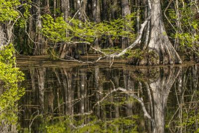 Bald cypress trees and reflection, Six Mile Cypress Slough Preserve, Fort Myers, Florida, Taxodium  by Adam Jones