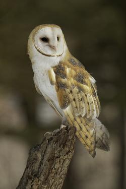 Barn Owl, Montana by Adam Jones