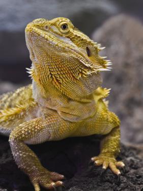 Bearded Dragon by Adam Jones