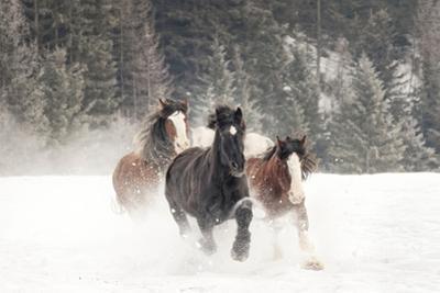 Belgian Horse roundup in winter, Kalispell, Montana. by Adam Jones