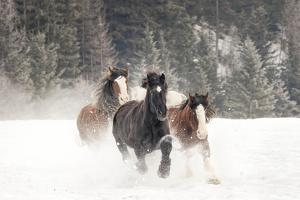 Belgian Horse roundup in winter, Kalispell, Montana. by Adam Jones