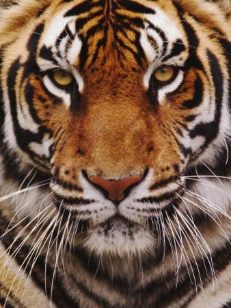 Bengal Tiger Face, Panthera Tigris, Asia by Adam Jones