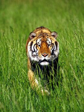 Bengal Tiger, Panthera Tigris Tigris by Adam Jones