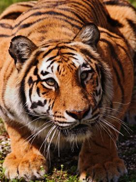 Bengal Tiger by Adam Jones