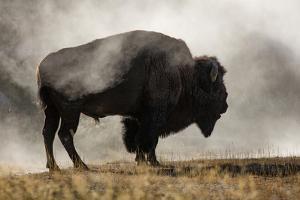 Bison in Mist, Upper Geyser Basin Near Old Faithful, Yellowstone National Park, Wyoming by Adam Jones