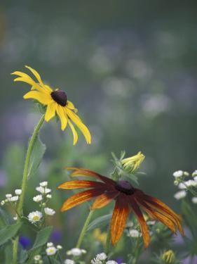 Black-Eyed Susan and Gloriosa Daisy, Oldham County, Kentucky, USA by Adam Jones