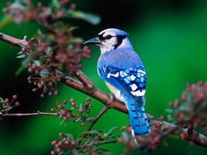 Blue Jay by Adam Jones