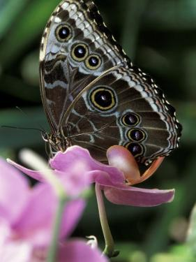 Blue Morpho Butterfly by Adam Jones