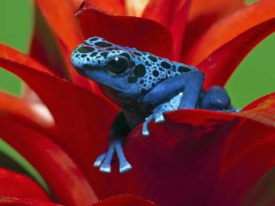 Blue Poison Dart Frog (Dendrobates Azureus), Reclassified As, (Dendrobates Tinctorius), Surinam by Adam Jones