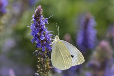 Cabbage White Butterfly Louisville, Kentucky by Adam Jones