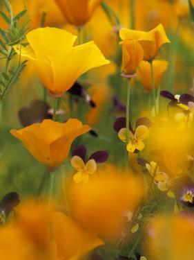 Californina Poppies, USA by Adam Jones