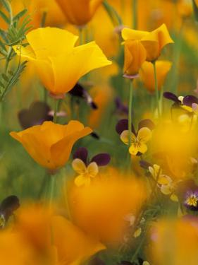 Californina Poppies, USA by Adam Jones