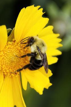 Carpenter Bee collecting nectar, Kentucky by Adam Jones
