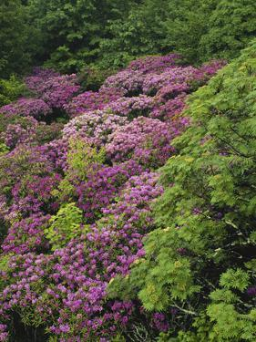 Catawba Rhododendron and Mountain Ash Growing in Forest by Adam Jones
