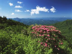 Catawba Rhododendrons, Blue Ridge Parkway, Pisgah National Forest, North Carolina, USA by Adam Jones