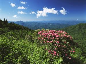 Catawba Rhododendrons, Blue Ridge Parkway, Pisgah National Forest, North Carolina, USA by Adam Jones