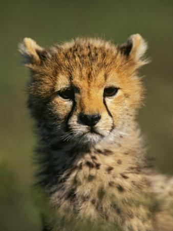 Cheetah Cub, Acinonyx Jubatus, Masai Mara Game Reserve, Kenya by Adam Jones