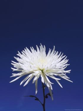 Chrysanthemum and Blue Sky by Adam Jones