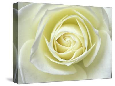 Close up details of white rose by Adam Jones
