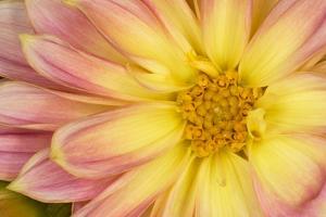 Close-up of dahlia flower by Adam Jones