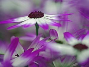 Close-up of purple flower, Keukenhof Garden, Lisse, Netherlands, Holland by Adam Jones
