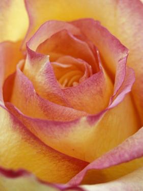 Close-up of Yellow and Orange Rose by Adam Jones