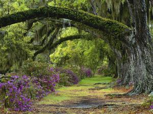 Coast Live Oaks and Azaleas Blossom, Magnolia Plantation, Charleston, South Carolina, USA by Adam Jones