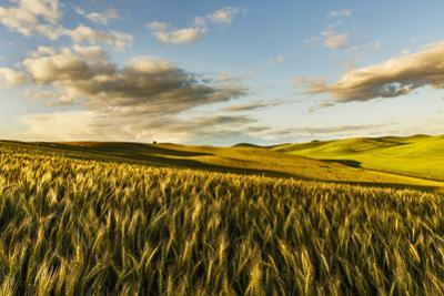 Contoured hills of wheat in late afternoon light, Palouse region of Eastern Washington State. by Adam Jones