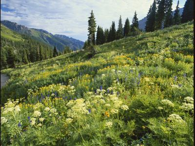 Cow Parsnip and Orange Sneezeweed Growing on Mountain Slope, Mount Sneffels Wilderness, Colorado