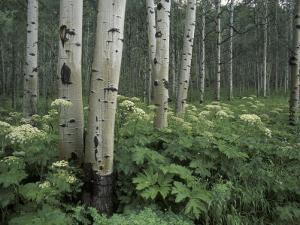 Cow Parsnip in Aspen Grove, White River National Forest, Colorado, USA by Adam Jones
