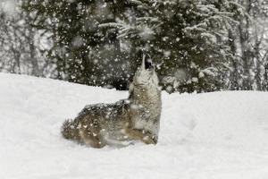 Coyote in snow, Montana by Adam Jones