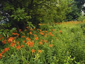 Day Lilies Growing Along Edge of Woods, Louisville, Kentucky, USA by Adam Jones