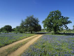 Dirt Road Through a Meadow of Flowering Texas Bluebonnets, Lupinus Texensis, Hill Country, Texas by Adam Jones