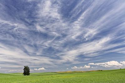 Expansive wheat field and trees, Palouse farming region of Eastern Washington State by Adam Jones