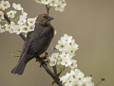 Female Brown-Headed Cowbird, Molothrus Ater, Among Crabapple Blossoms, North America