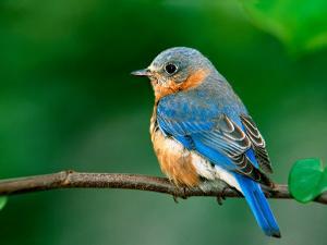 Female Eastern Bluebird by Adam Jones
