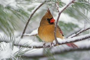 Female Northern Cardinal in snowy pine tree, Cardinalis cardinalis by Adam Jones