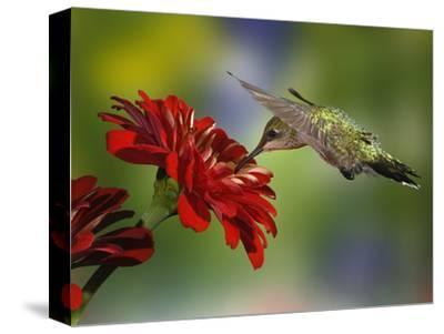 Female Ruby-Throated Hummingbird Feeding on Flower, Louisville, Kentucky by Adam Jones
