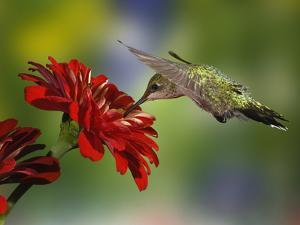 Female Ruby-Throated Hummingbird Feeding on Flower, Louisville, Kentucky by Adam Jones