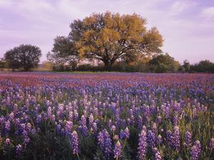Field of Texas Paintbrush and Texas Bluebonnet Wildflowers and a Live Oak Tree by Adam Jones